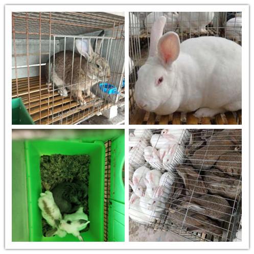 宁德市附近有没有出售种兔养殖基地
