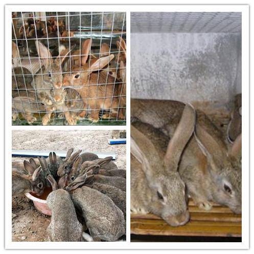 辽宁北票市哪里有卖肉兔的