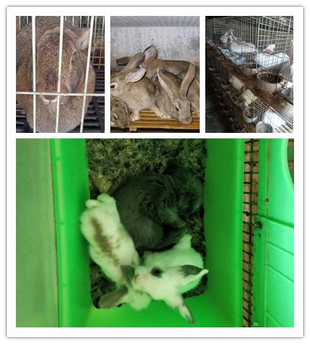 简阳市哪里有利时种兔肉兔的