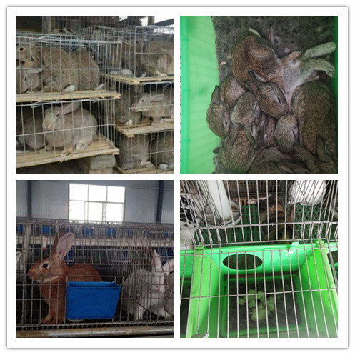 简阳市哪里有卖比利时种兔肉兔的