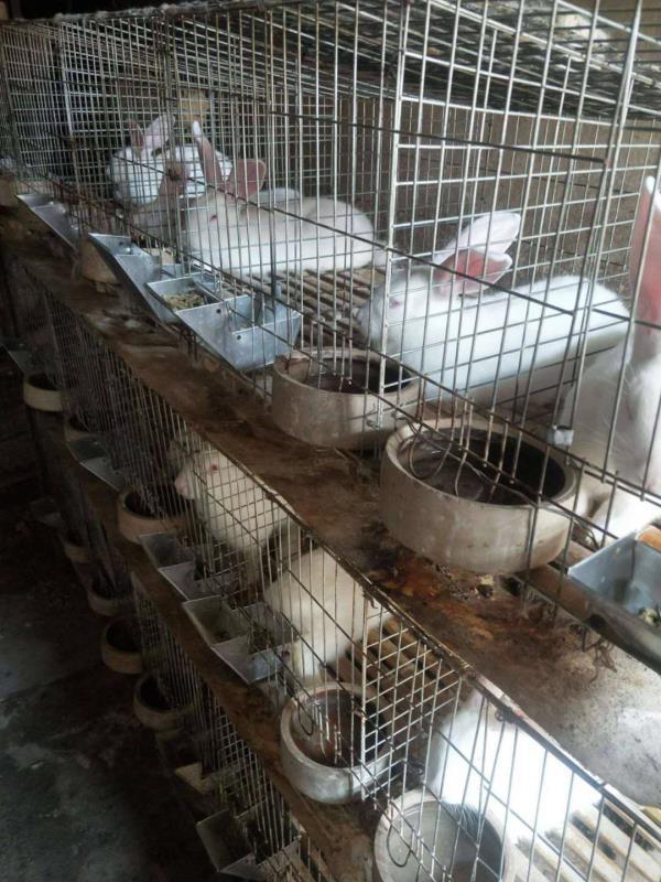 湖南耒阳市肉兔养殖场种兔多少钱