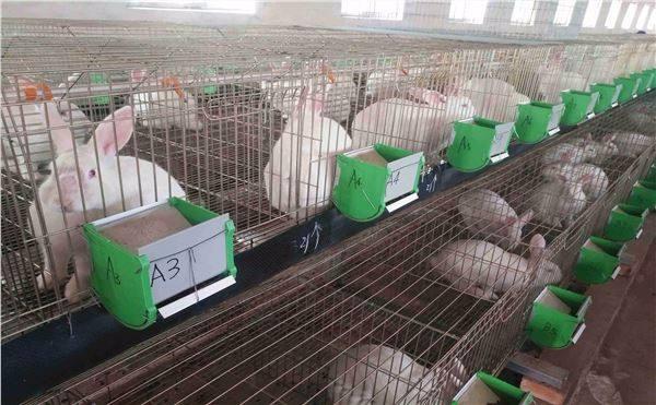 大连市肉兔养殖场种兔多少钱