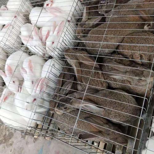 湖南娄底市卖肉兔种兔的养殖场