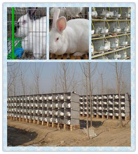 江西南康市兔子种兔养殖基地