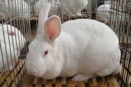 阿尔山市附近出售肉兔种兔