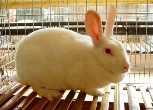 吉林蛟河市哪里有种兔养殖场