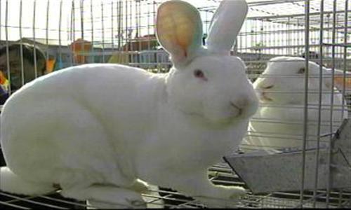 四川峨眉山市出售比利时种兔肉兔