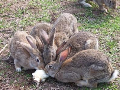 甘肃合作市附近有卖种兔的养殖场
