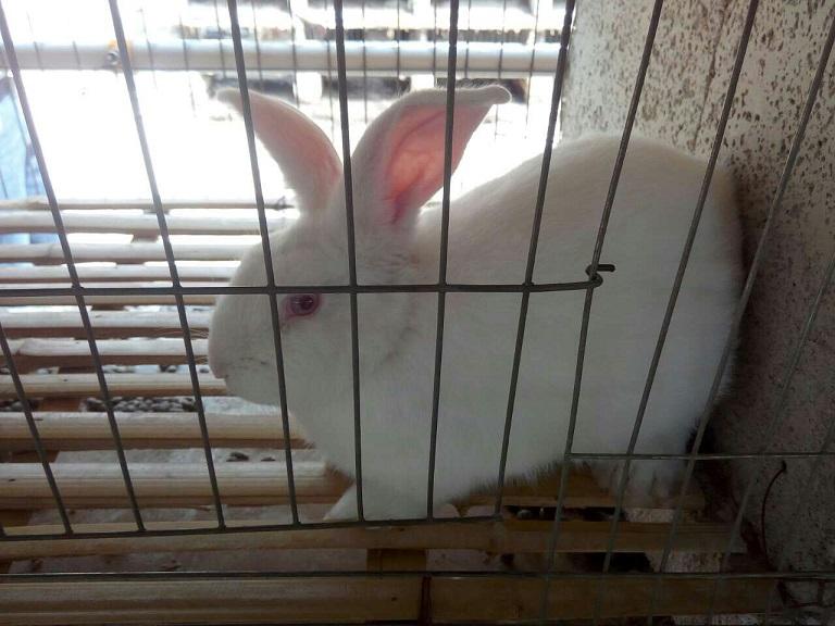 安徽淮北市哪里有卖种兔的