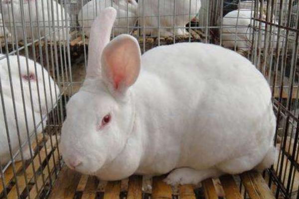 周口市哪里出售肉兔种兔养殖场