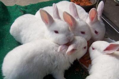 山东肥城市什么地方有种兔养殖场