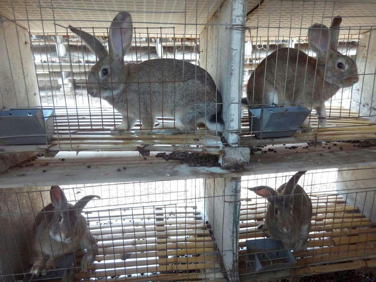 湖南常德市卖种兔的养殖基地