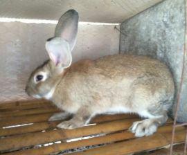 福建晋江市兔子种兔养殖基地