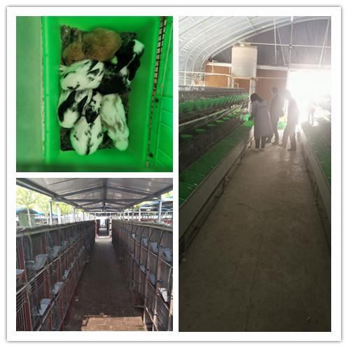 辽宁省盘锦市哪里有种兔养殖场出售肉兔