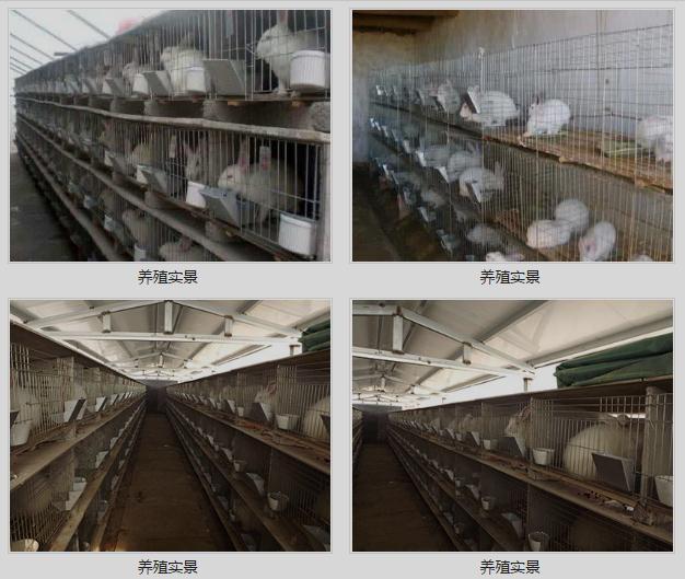 广东平远市哪里有卖种兔的