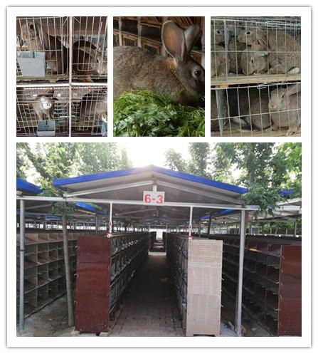 河北深州市卖肉兔种兔的养殖基地