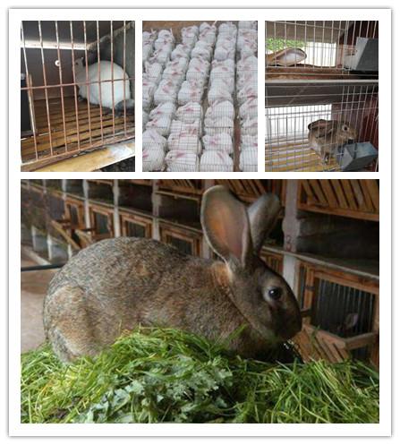辽宁铁岭市种兔肉兔养殖基地