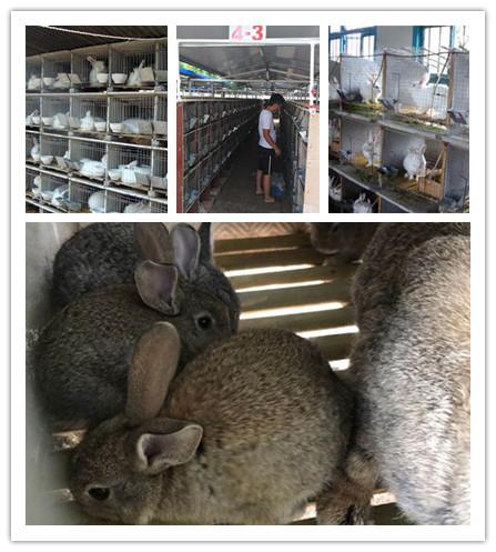 广东丰顺市伊拉兔八点黑种兔养殖基地