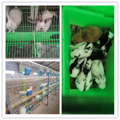 通化市种兔养殖场出售兔子