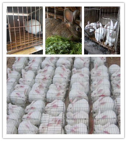 浙江海宁市种兔肉兔养殖基地