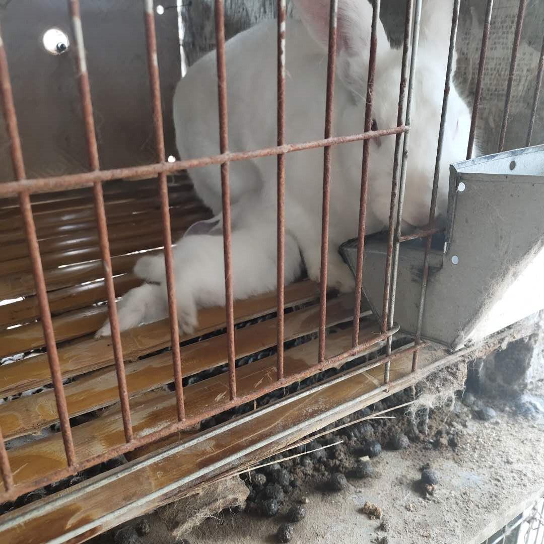 甘肃玉门市哪里有卖种兔的