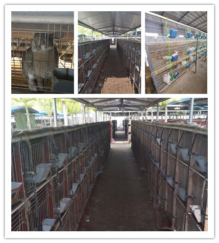 普兰店市当地出售肉兔种兔的养殖场