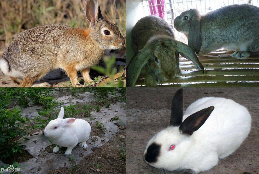 凌源市卖种兔的养殖基地