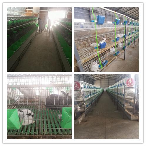 山东泰安市比利时种兔养殖基地