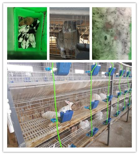 庆阳市种兔肉兔哪里有卖的