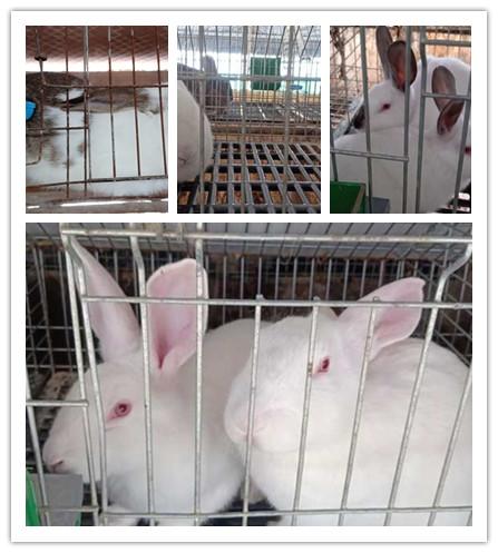池州市长期出售肉兔獭兔种兔养殖场
