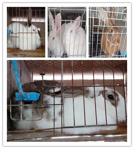 七台河市肉兔种兔养殖场
