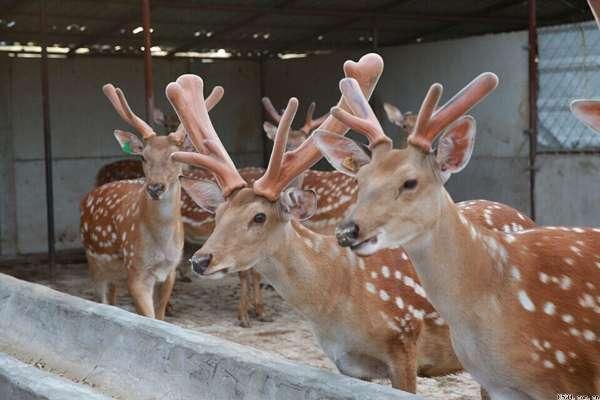 潮阳哪里有出售梅花鹿