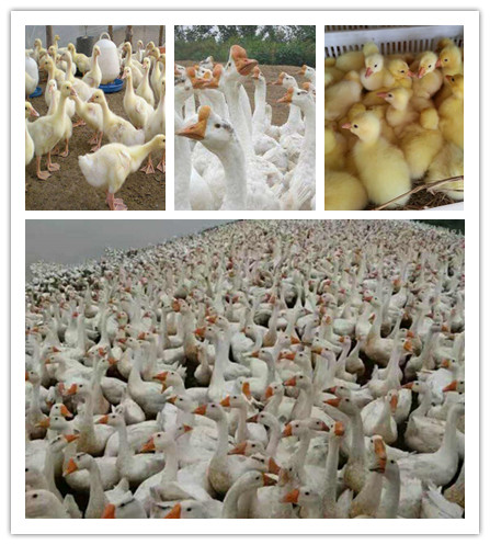 盘锦市土肥鹅苗哪里有卖