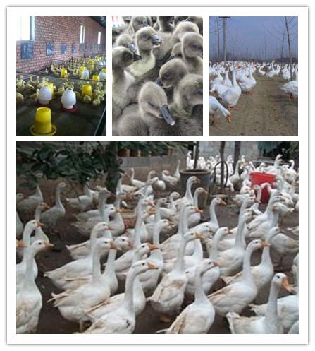 北安市杂交鹅苗养殖场