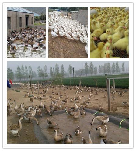 连平县山东哪里有鹅苗养殖场