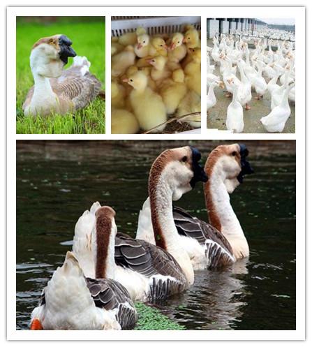 望城县什么地方有鹅苗孵化基地