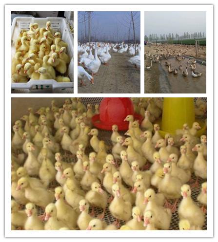 浏阳市大型鹅苗孵化基地