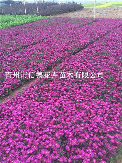 濮阳市金焰绣线菊品种齐全