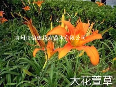 滨州市红叶小檗新上市