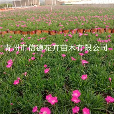 信阳市常夏石竹盆栽苗