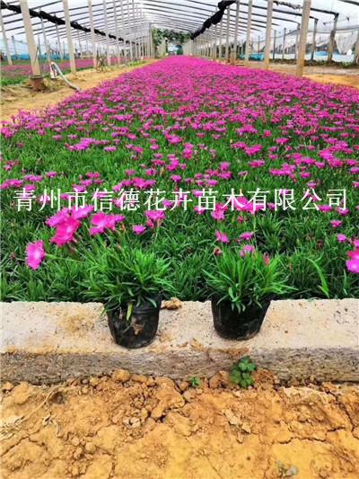 上海八仙花工程苗供应商