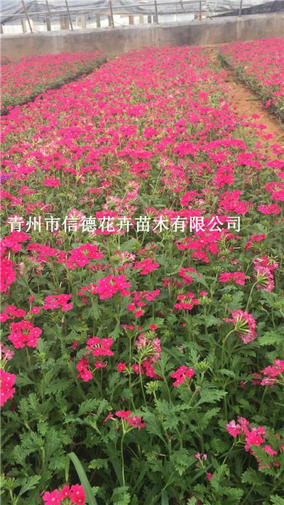 潍坊市北海道黄杨大量上市