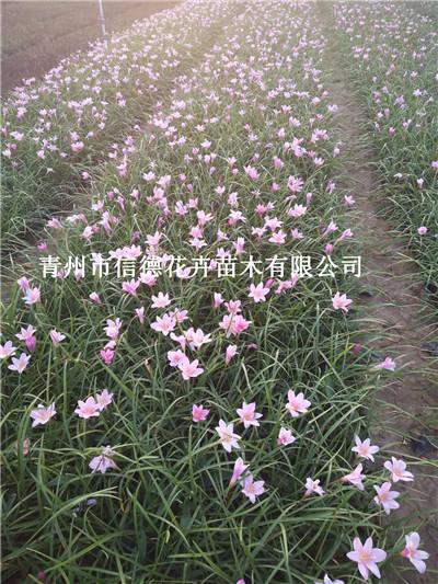 济南市紫叶水蜡看货定苗