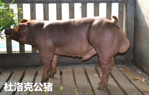 大理地区原种苏太母猪种猪哪里有