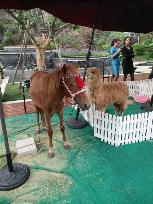 福鼎市羊驼出售