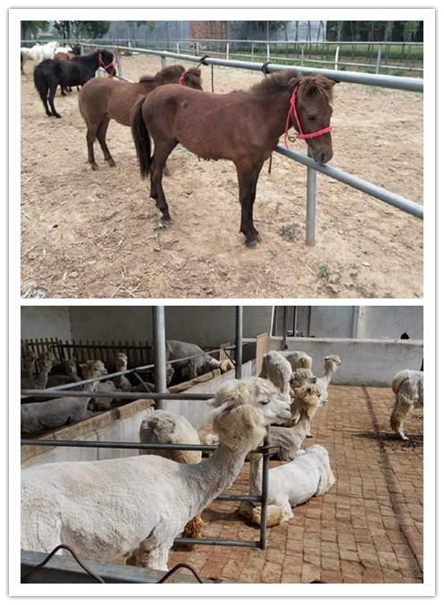韶山市哪里有卖矮马的