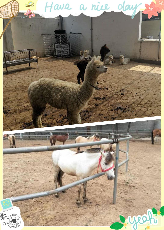 福鼎市哪里地区有卖羊驼的
