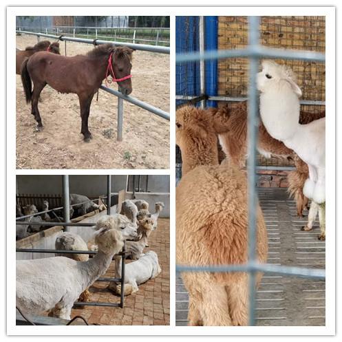 湘潭市哪里有卖羊驼的