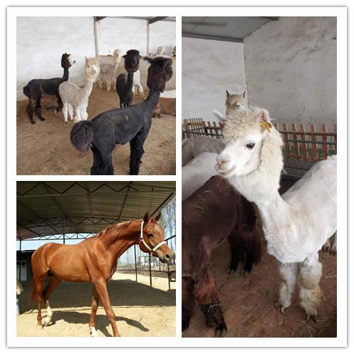 德州市羊驼出售