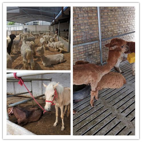 大冶市哪里有出售羊驼养殖场的
